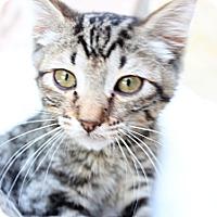 Adopt A Pet :: Addison - Santa Monica, CA
