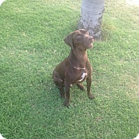 Adopt A Pet :: Pedro - McAllen, TX