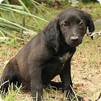 Adopt A Pet :: Lucy Loo - Staunton, VA