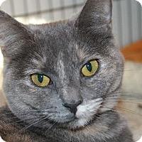 Domestic Shorthair Cat for adoption in Cincinnati, Ohio - Tipper