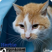 Domestic Mediumhair Cat for adoption in Fort Mill, South Carolina - Herbie