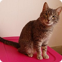 Domestic Shorthair Cat for adoption in Speedway, Indiana - Jersey