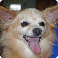 Yorkie, Yorkshire Terrier/Chihuahua Mix Dog for adoption in Longview, Washington - Molly