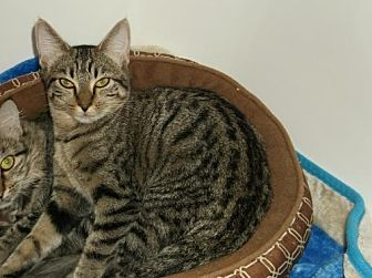 Domestic Shorthair Cat for adoption in Cypress, Texas - Tiger Kitty II