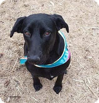 Labrador Retriever Mix Dog for adoption in Brownsboro, Alabama - Eva