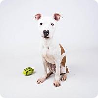 Adopt A Pet :: Wrigley - Decatur, GA