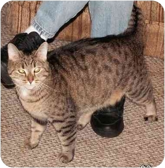 Domestic Shorthair Cat for adoption in Milford, Ohio - Baby Girl