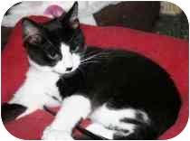 Domestic Mediumhair Kitten for adoption in Marietta, Georgia - Lego