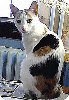 Calico Cat for adoption in Brooklyn, New York - Candy