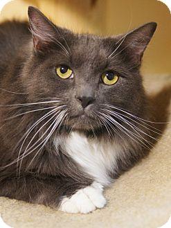 Domestic Longhair Cat for adoption in Medford, Massachusetts - Abraham