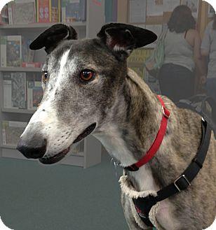Greyhound Dog for adoption in Tucson, Arizona - Louie