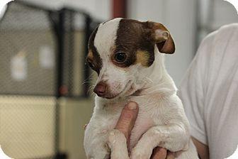 Chihuahua Mix Puppy for adoption in Brattleboro, Vermont - Ridge