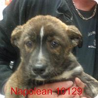 Adopt A Pet :: Napolean - Greencastle, NC