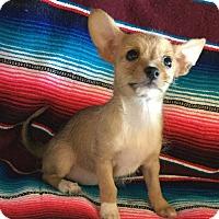 Adopt A Pet :: Carrie - Gilbert, AZ