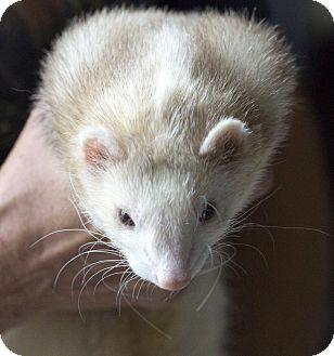 Ferret for adoption in Brandy Station, Virginia - MONG
