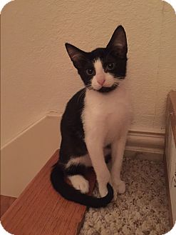 Domestic Shorthair Kitten for adoption in Seattle, Washington - Petunia