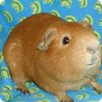 Adopt A Pet :: Ichabod - Steger, IL