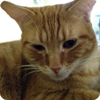 Domestic Shorthair Cat for adoption in Hudson, Florida - Potsie