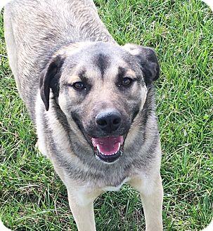 German Shepherd Dog Mix Dog for adoption in Russellville, Kentucky - Amos