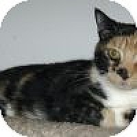 Domestic Shorthair Cat for adoption in Powell, Ohio - Oracle