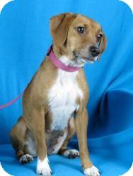 Beagle Mix Dog for adoption in Minneapolis, Minnesota - Leah