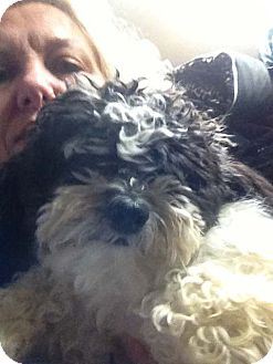 Shih Tzu/Bichon Frise Mix Dog for adoption in Hazard, Kentucky - Jasper