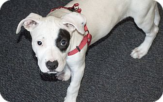 American Pit Bull Terrier Mix Puppy for adoption in San Diego, California - Shyla