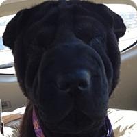 Adopt A Pet :: Nola - Barnegat Light, NJ