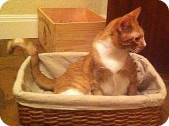 Domestic Shorthair Kitten for adoption in Bulverde, Texas - Casey 2