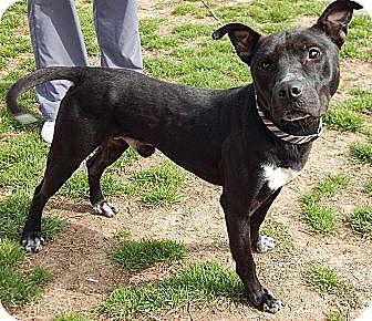 Labrador Retriever/Terrier (Unknown Type, Medium) Mix Dog for adoption in Burlington, Vermont - Pete(L)(50 lb) Fun Family Pet!