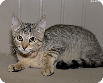 Domestic Shorthair Kitten for adoption in Medina, Ohio - Karl