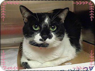 Domestic Shorthair Cat for adoption in Marietta, Georgia - PHOEBE (R)