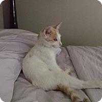 Adopt A Pet :: Pip - Reston, VA