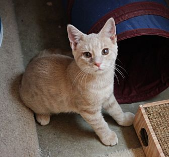 Domestic Shorthair Kitten for adoption in Carlisle, Pennsylvania - Walker