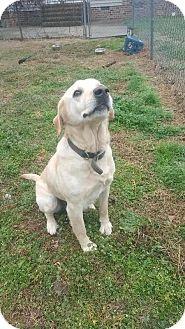 Labrador Retriever Mix Dog for adoption in Waxhaw, North Carolina - Lola