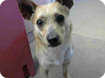 Cardigan Welsh Corgi Mix Dog for adoption in Sacramento, California - *LOUIE