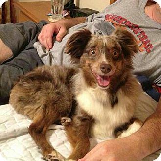 """Australian Shepherd Dog for adoption in Abilene, Texas - """"Bo"""" Bojangles"""