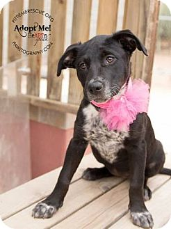Cattle Dog/Labrador Retriever Mix Puppy for adoption in Gilbert, Arizona - Bella