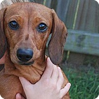 Adopt A Pet :: Belle COURTESY POSTING - Harrisburgh, PA