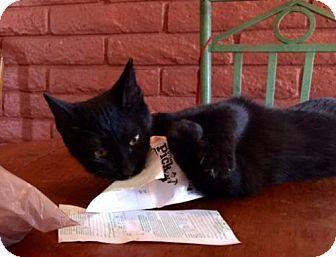 Domestic Shorthair Cat for adoption in Glendale, Arizona - Tom Sawyer