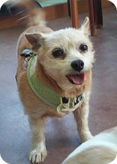 Pug/Terrier (Unknown Type, Small) Mix Dog for adoption in Creston, California - Toby