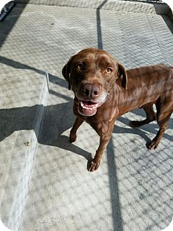 Labrador Retriever Mix Dog for adoption in Cumming, Georgia - Champ