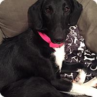 Adopt A Pet :: Heidi - joliet, IL