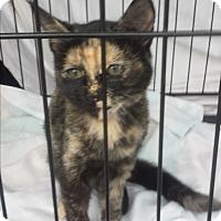 Adopt A Pet :: Darby - Kirkland, WA