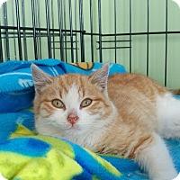 Adopt A Pet :: Shamrock - Island Park, NY