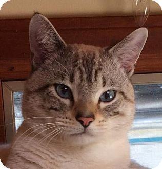 Siamese Cat for adoption in San Diego, California - Dozer