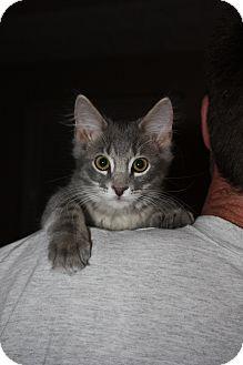 Domestic Mediumhair Cat for adoption in Union, Kentucky - Joseph