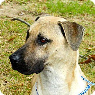 Labrador Retriever/Boxer Mix Dog for adoption in Groton, Massachusetts - RJ