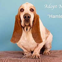 Basset Hound Mix Dog for adoption in Acton, California - Hamlet