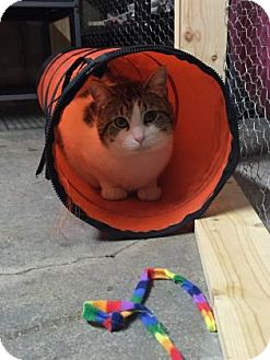 Domestic Shorthair Cat for adoption in Wichita, Kansas - Titan